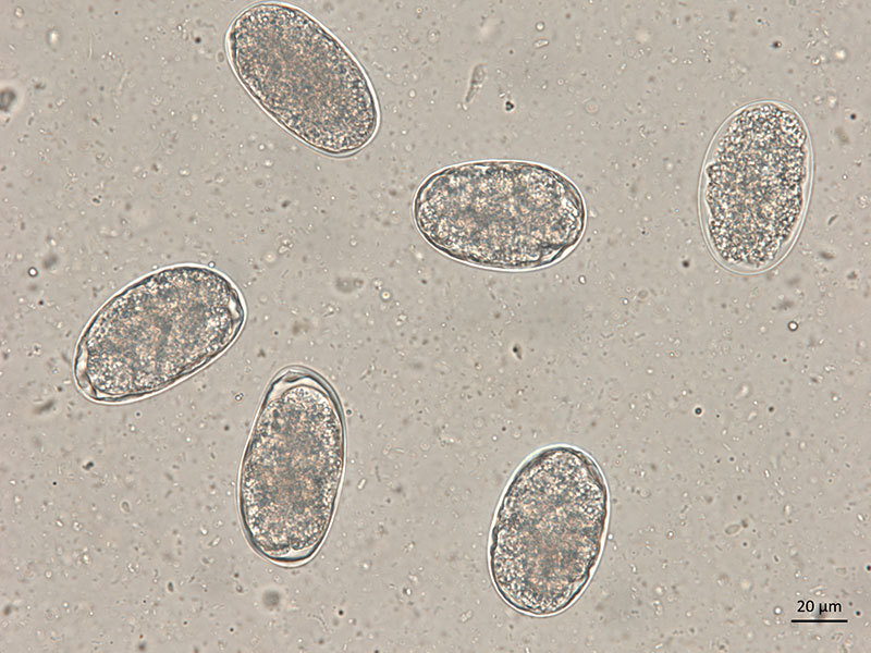 800X600 Ancylostoma Egg Canine 400X