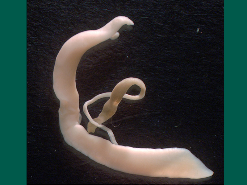 800X600 Canine Schistosomiasis Ha Adults