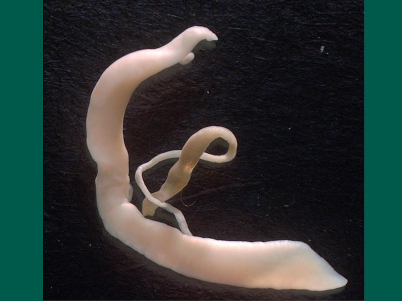 800X600 Canine Schistosomiasis Ha Adults