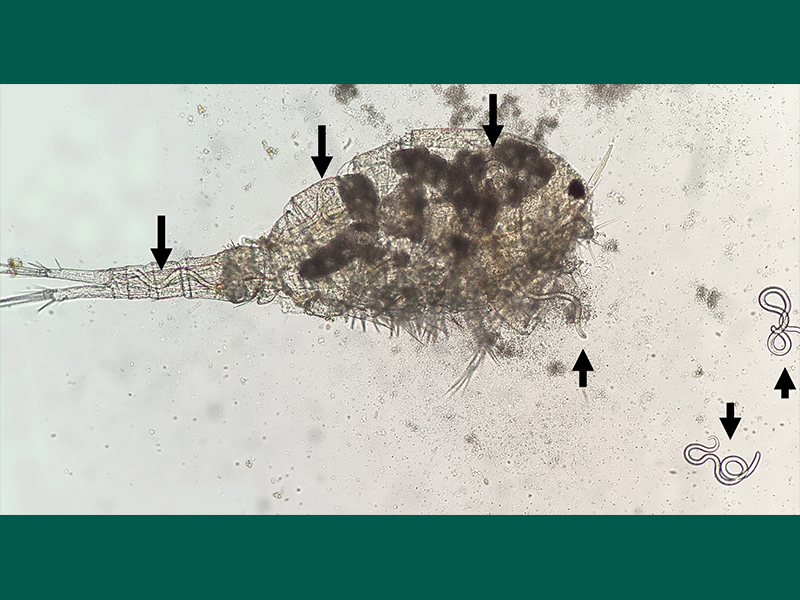 800X600 Figure 1 Copepod With Arrows To Dracun