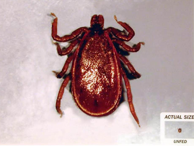 800X600 Ixodes Scapularis Adult Male
