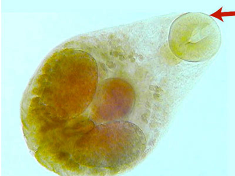 800X600 Trematode Adult
