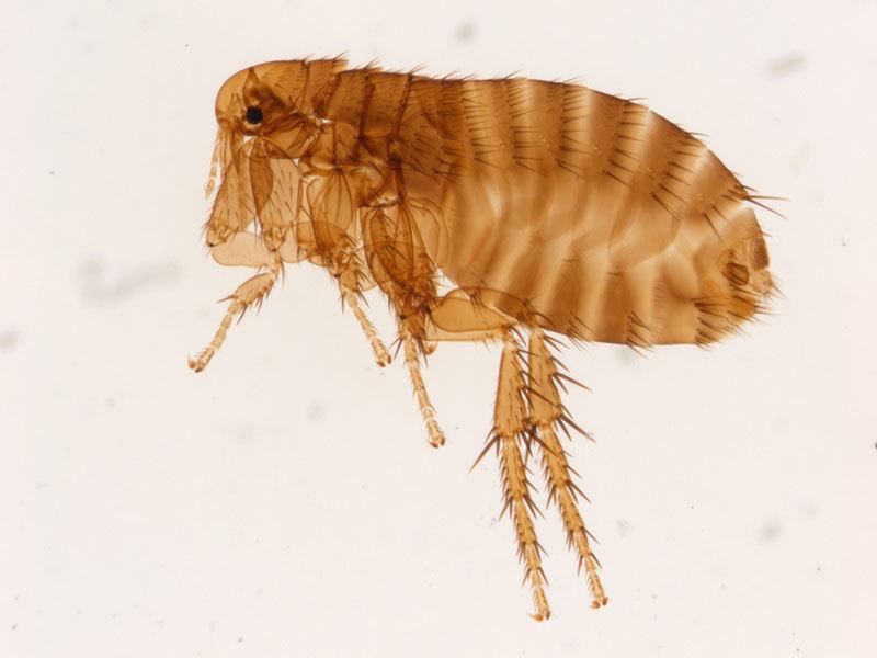 800X600 Xenopsylla Cheopis Female
