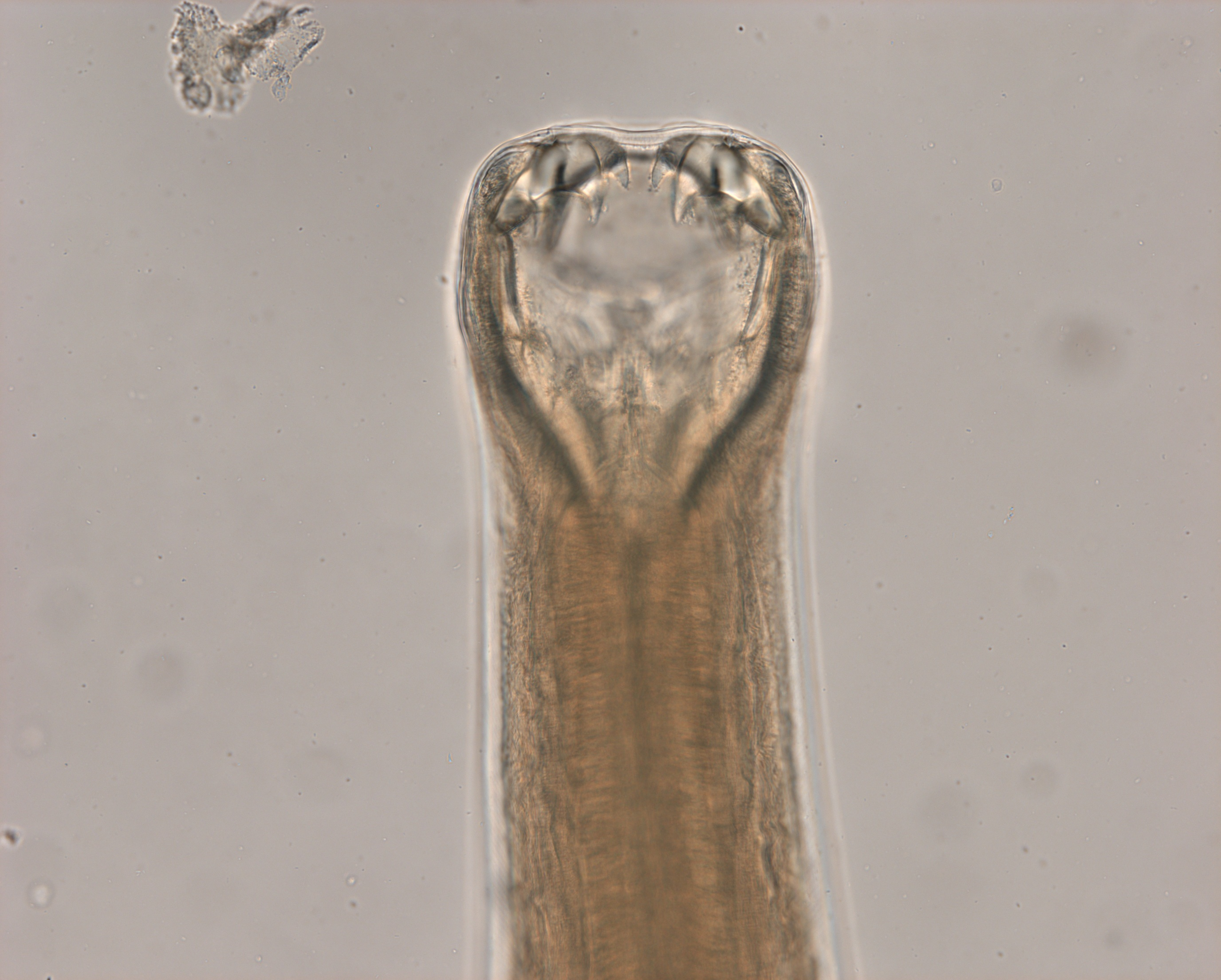 Ancylostoma Caninum Anterior End