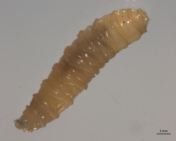 Cochliomyia Hominivorax 3rd Instar Larva