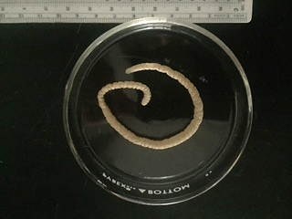 Macracanthorhynchus Ingens Adult